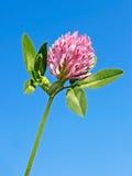 Clover flower against blue sky Stock Photography