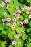 Clover flower background. In the park stock image