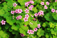 clover flower background stock photography