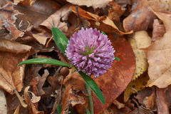 Clover flower. Clover flower on a background of autumn leaves stock image