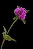 Clover flower Stock Photo
