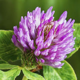 Clover flower Royalty Free Stock Image