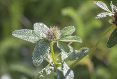 Clover flower in drops of dew in morning Royalty Free Stock Images