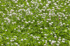 Clover flower field Royalty Free Stock Photography