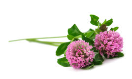 Free Clover Flower Isolated Stock Photo - 34424000