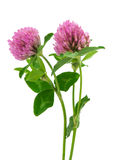 Clover flower isolated Royalty Free Stock Photography
