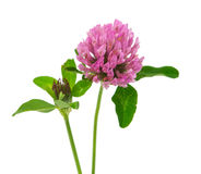 Clover flower isolated Stock Photos