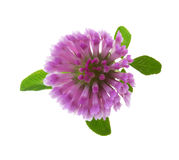 Clover flower isolated on white background. Trifolium pratense Royalty Free Stock Photography