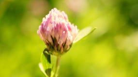 Clover flower. Flower of clover in rays of sun in summer Stock Photos