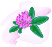Clover flower. Watercolor painting Royalty Free Stock Photos