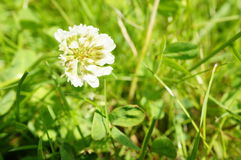 Clover flower Royalty Free Stock Photos
