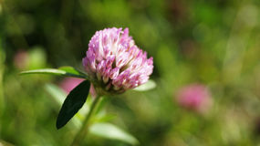 Clover. In the flowering process royalty free stock images