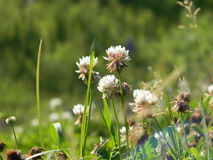 Clover flowers Stock Images