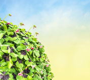 Clover flowers on blue sky background Royalty Free Stock Images