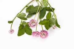 Clover flowers on branch Royalty Free Stock Photo