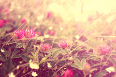 Clover flowers. Bright clover flowers in sunlight royalty free stock photography
