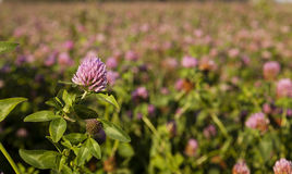 Clover flowers . Closeup. Beautiful purple flowers of clover. Close up. spring royalty free stock image
