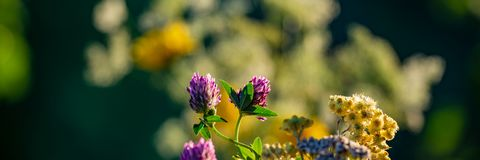 Clover flowers in the evening in the meadow. Banner for design royalty free stock photo