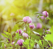 Clover Flowers on Green Grass Background. Summer Sunlight Scene: Clover Flowers on Green Grass Background Royalty Free Stock Images