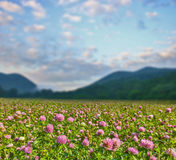 Clover flowers on green meadow near mountains Stock Photography