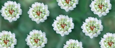 Clover flowers on a green meadow. Summer clear warm day royalty free stock photos