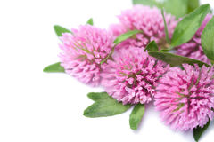 Clover flowers isolated Stock Image
