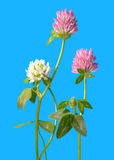 Clover flowers isolated on blue.  Royalty Free Stock Image