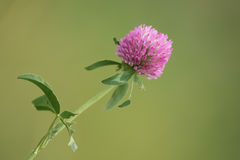 Clover flowers isolated. Purple flower and leaves of clover stock images