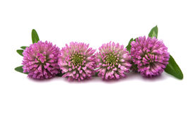 Clover flowers isolated Royalty Free Stock Images