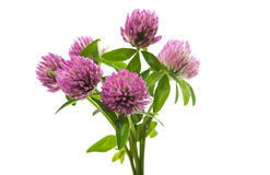 Clover flowers isolated Stock Photo
