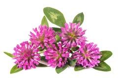 Clover flowers stock image