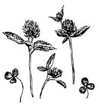 Clover  flowers and leaves, set sketch  illustration Stock Photos