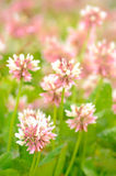 Clover flowers. On meadow, selective focus stock image