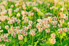 Clover flowers on meadow. Selective focus royalty free stock image