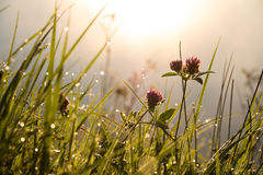 Clover Flowers in the Morning Royalty Free Stock Photos