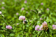 Clover flowers Stock Image