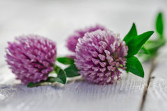 Clover flowers white background Royalty Free Stock Image