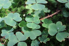 Clover in the forest Stock Photos