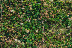 Clover on the forest floor Royalty Free Stock Image