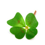 Clover four Stock Photo