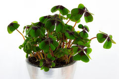 Clover Stock Image