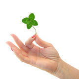 Clover with four leaflets in hand. Shamrock, the traditional Irish symbol coined by Saint Patrick for the Holy Trinity, is commonly associated with clover Stock Photography