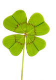 Clover with four leaves. Isolated clover with four leaves stock photography