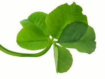 Clover of four leaves Stock Photo