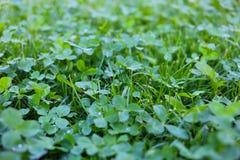 Clover garden. Green clover garden. Summer lawn Stock Photo
