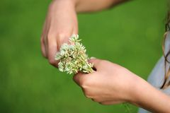 Clover in girls hands. Girl weaves a wreath of wild clover Royalty Free Stock Photo