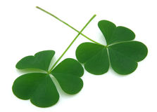 Clover on good luck Royalty Free Stock Image