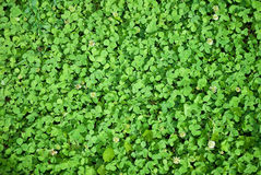 Clover grass Royalty Free Stock Photo