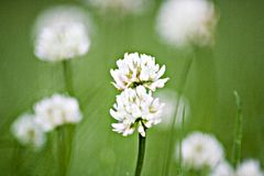Clover in the Grass Royalty Free Stock Image
