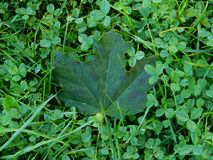 Clover and grass Royalty Free Stock Photos